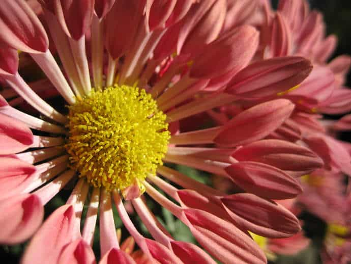 Close up - Pink Flower